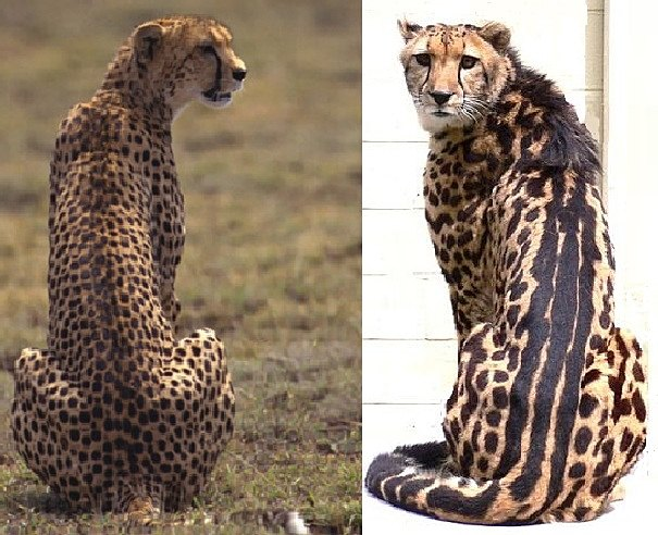 king cheetah comparison side by side