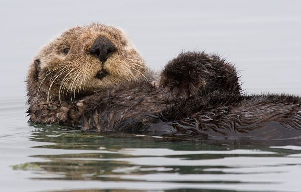 Sea Otter floating