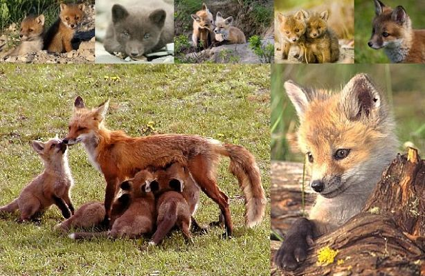 fox mother and babies