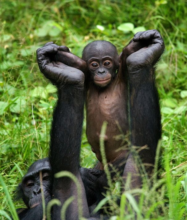 baby bonobo being lifted