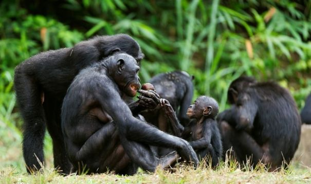 bonobo mothers and babies