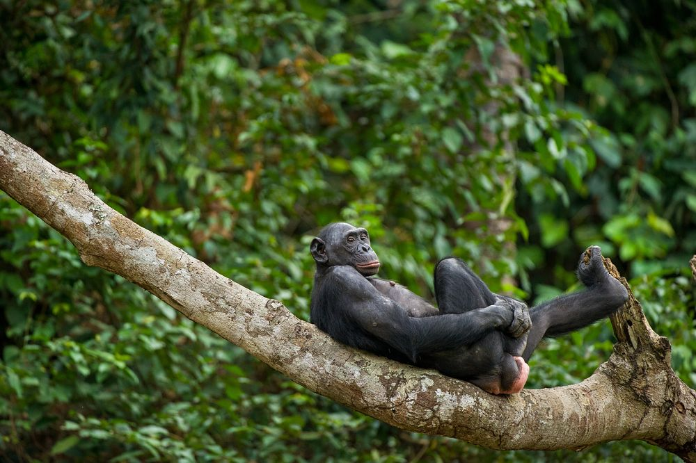 bonobo lounging in a tree