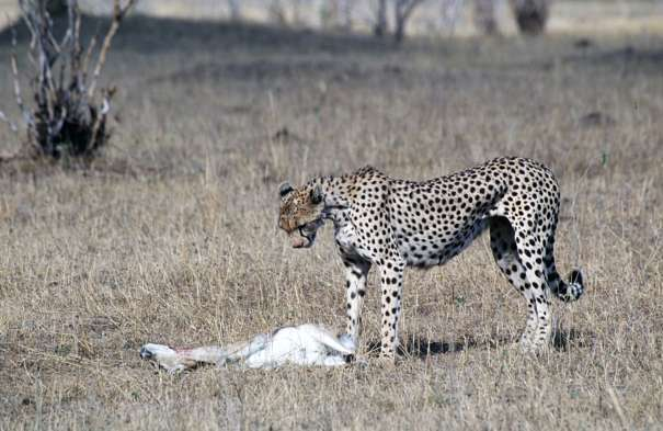 exhausted cheetah