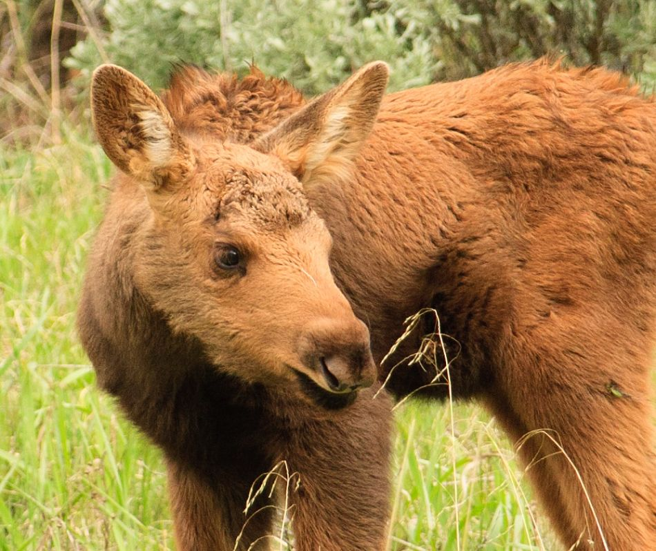 closeup of baby moose