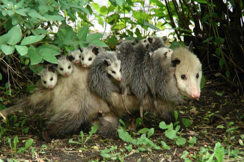 common opossum with babies