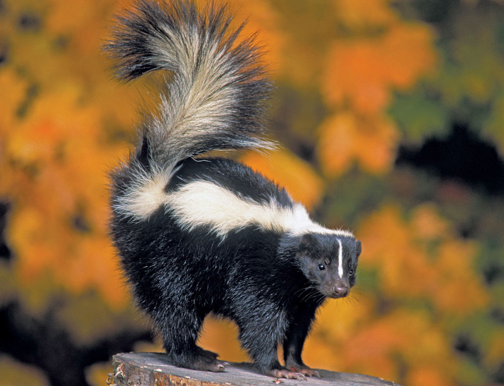 striped skunk in autumn