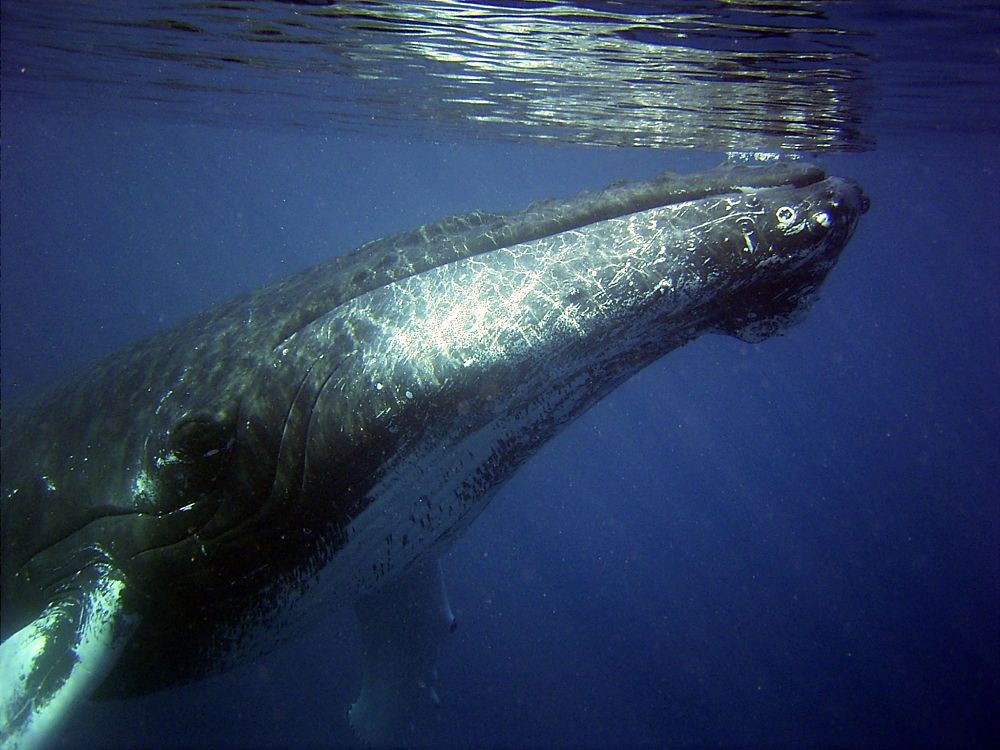 humpback whale at surface