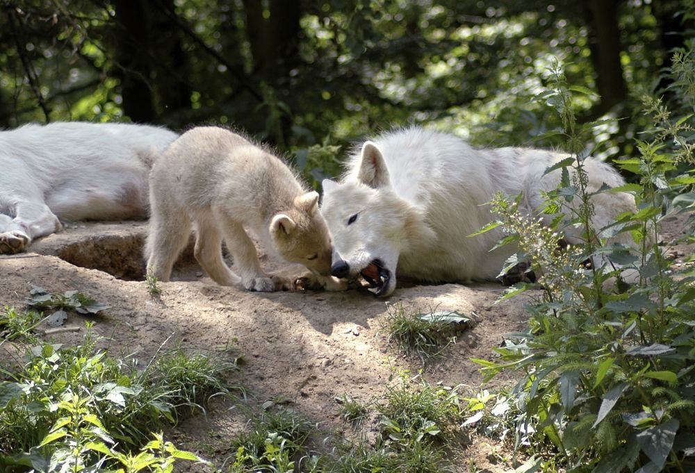 wolf mother