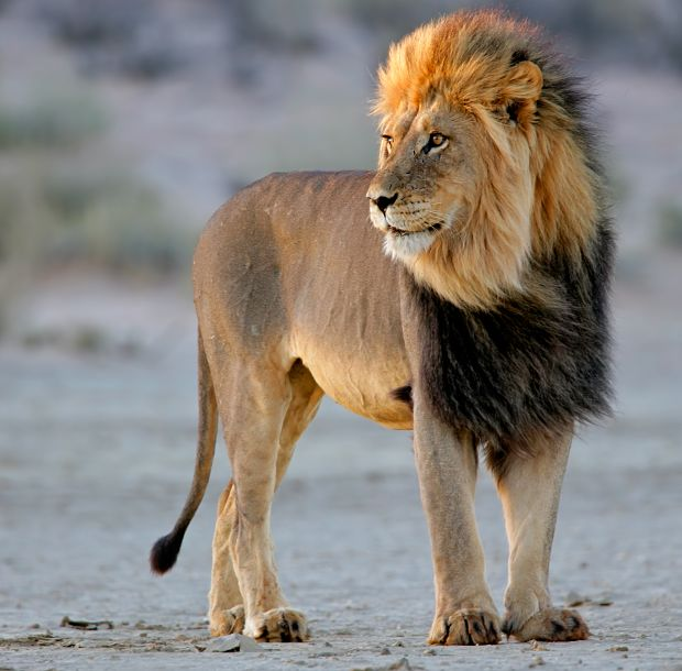 african lions - photo #15