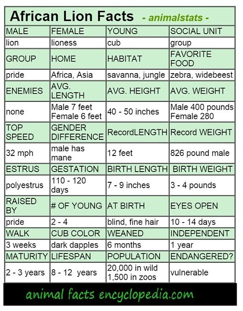 African lion animal stats