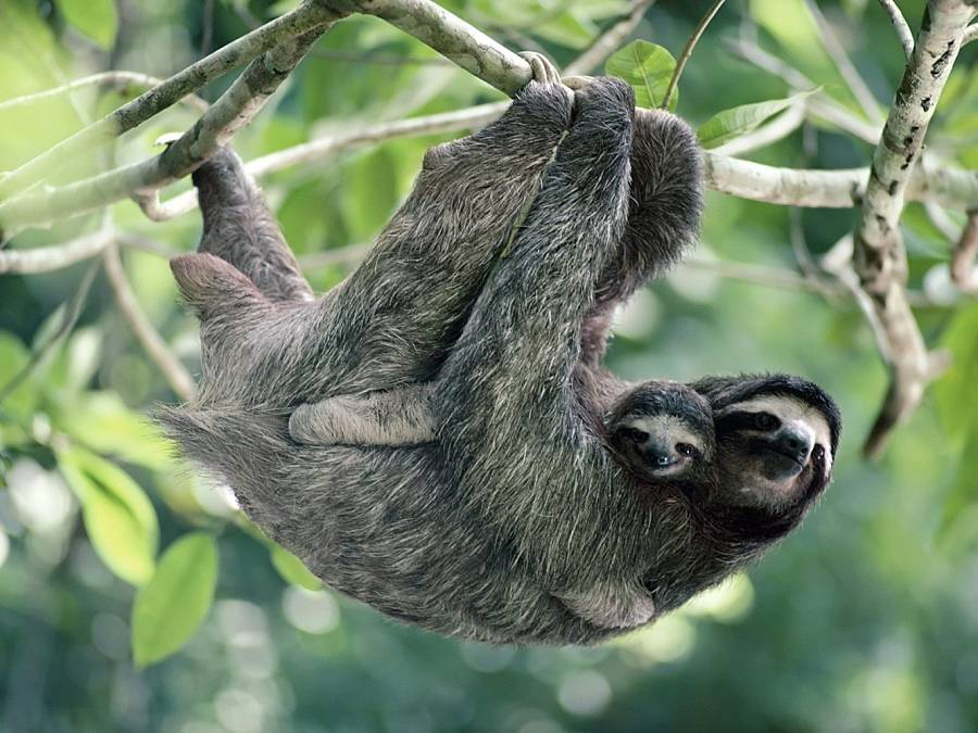 mommy and baby three toed sloth