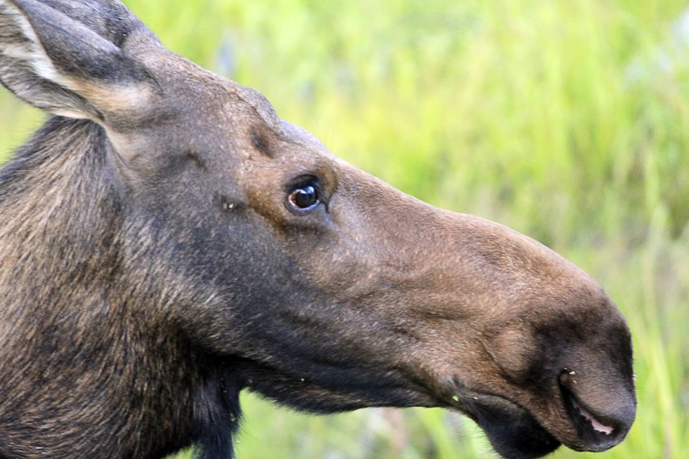 moose close-up
