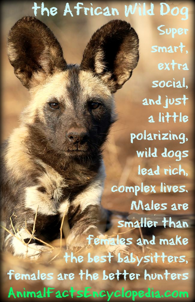 African wild dog story