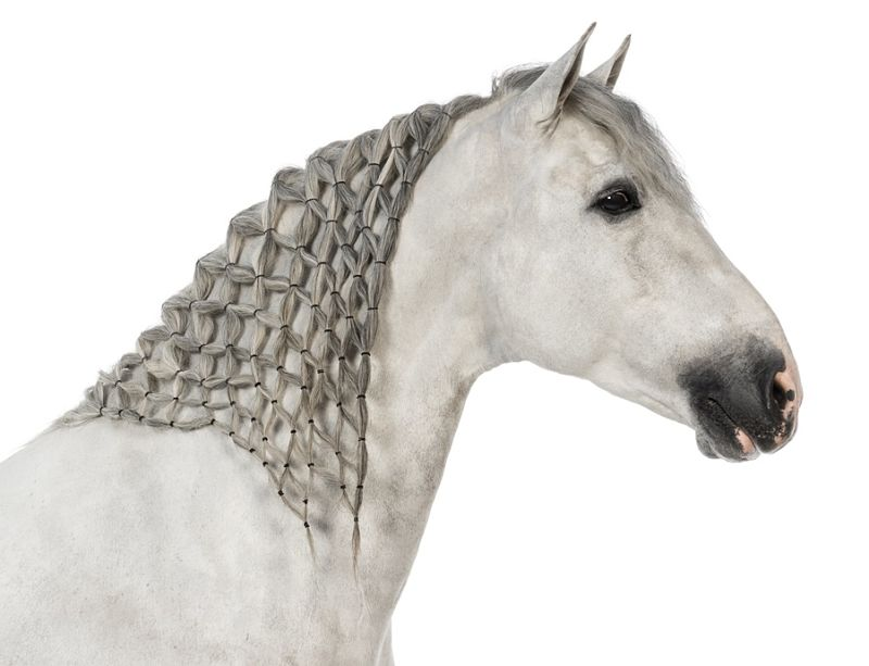 Andalusian with plaited mane