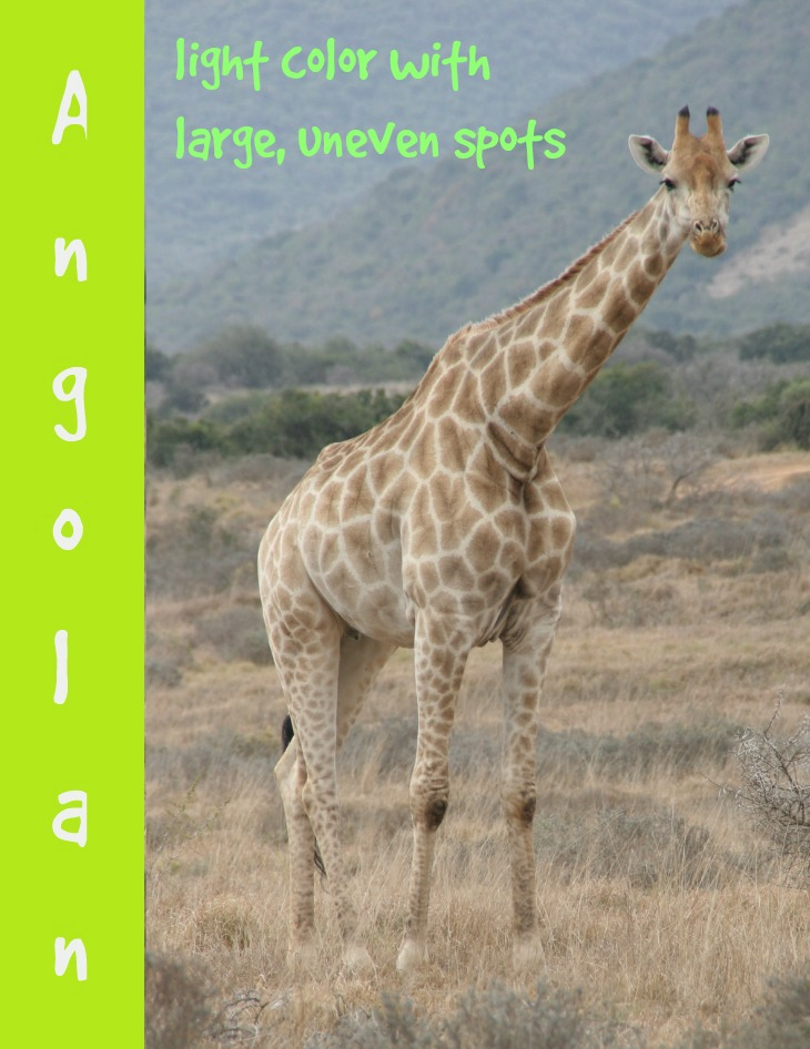 Angolan giraffe description