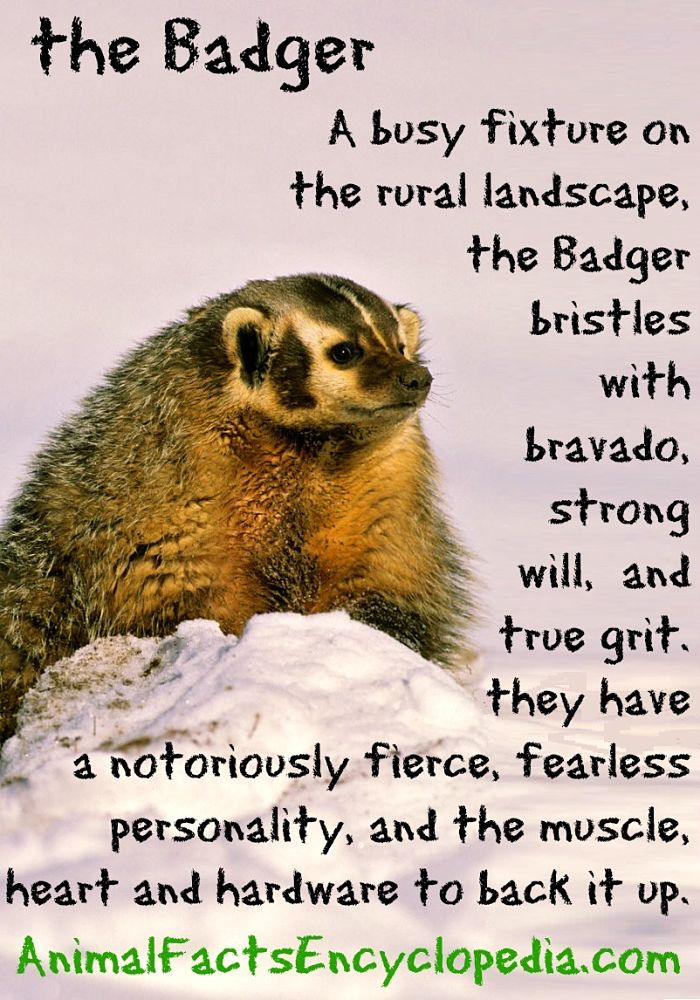 badger facts