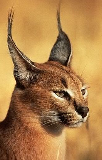 Caracal Facts Animal Facts Encyclopedia