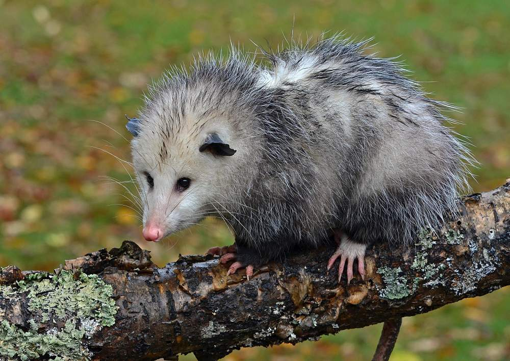 beautiful Virginia possum