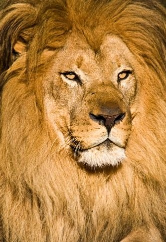 African Lion Facts Animal Facts Encyclopedia