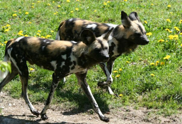 African wild dog couple