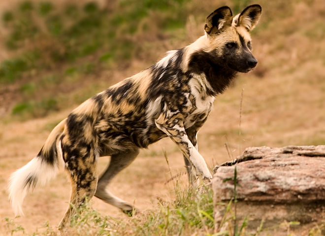 Wild Painted Dog As Pet
