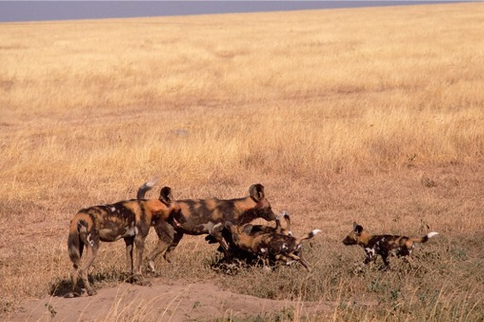 African wild dog family