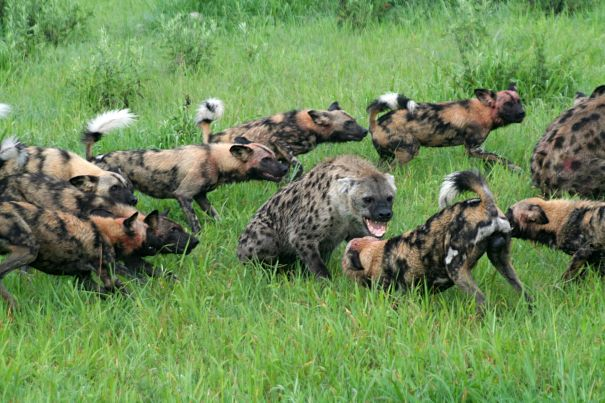 african wild dogs surround hyena