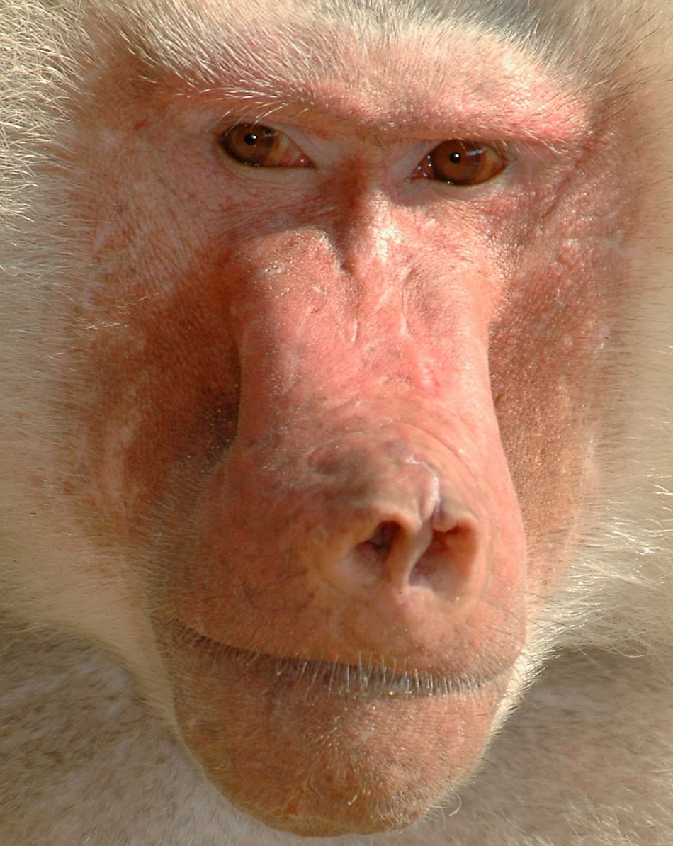 baboon extreme close-up