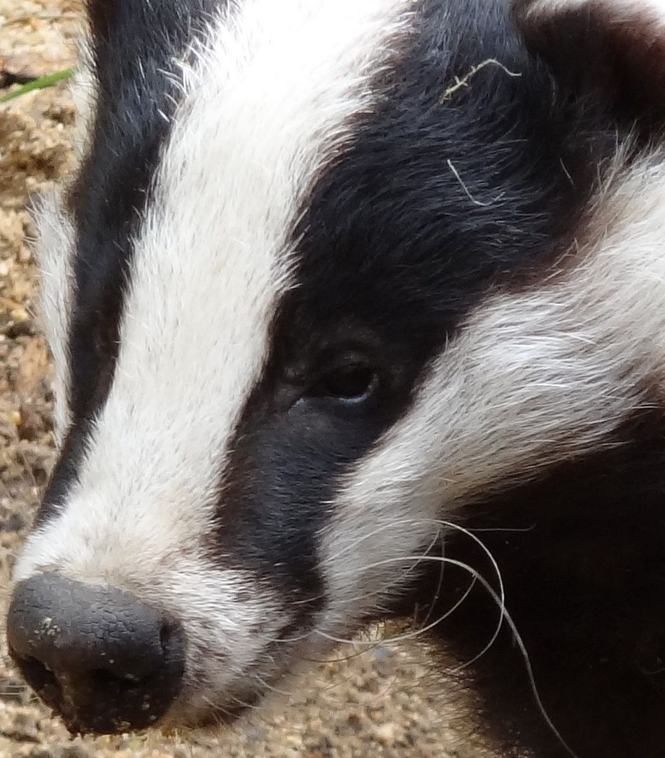 badger extreme close-up