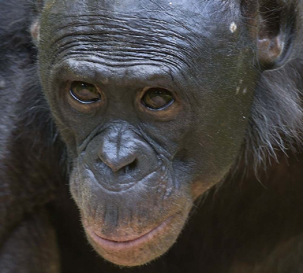 animal extreme close-up - bonobo