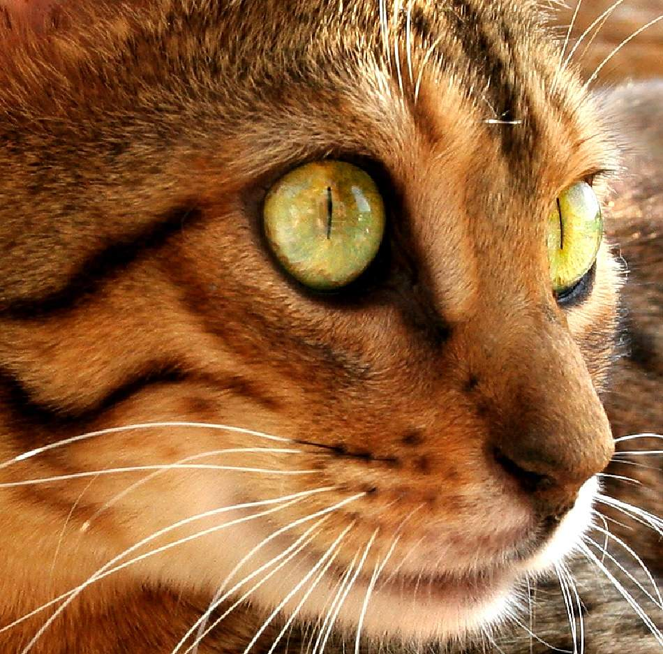 animal extreme closeup - Cat