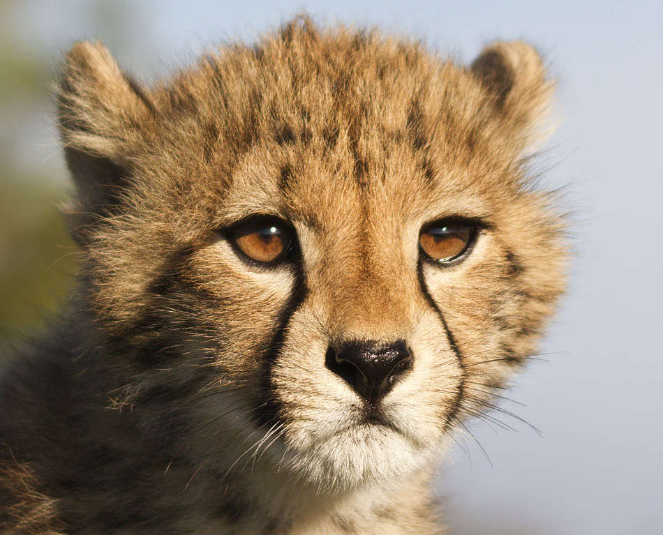 cheetah cub extreme close-up