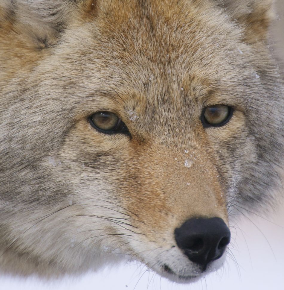 Animal Extreme Close-up - Coyote