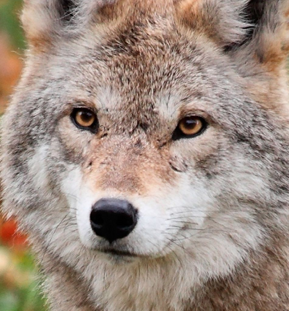 coyote extreme close-up