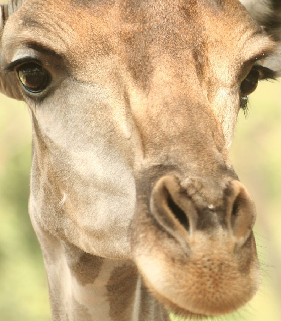 giraffe extreme close-up