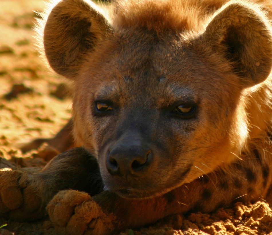 hyena extreme close-up