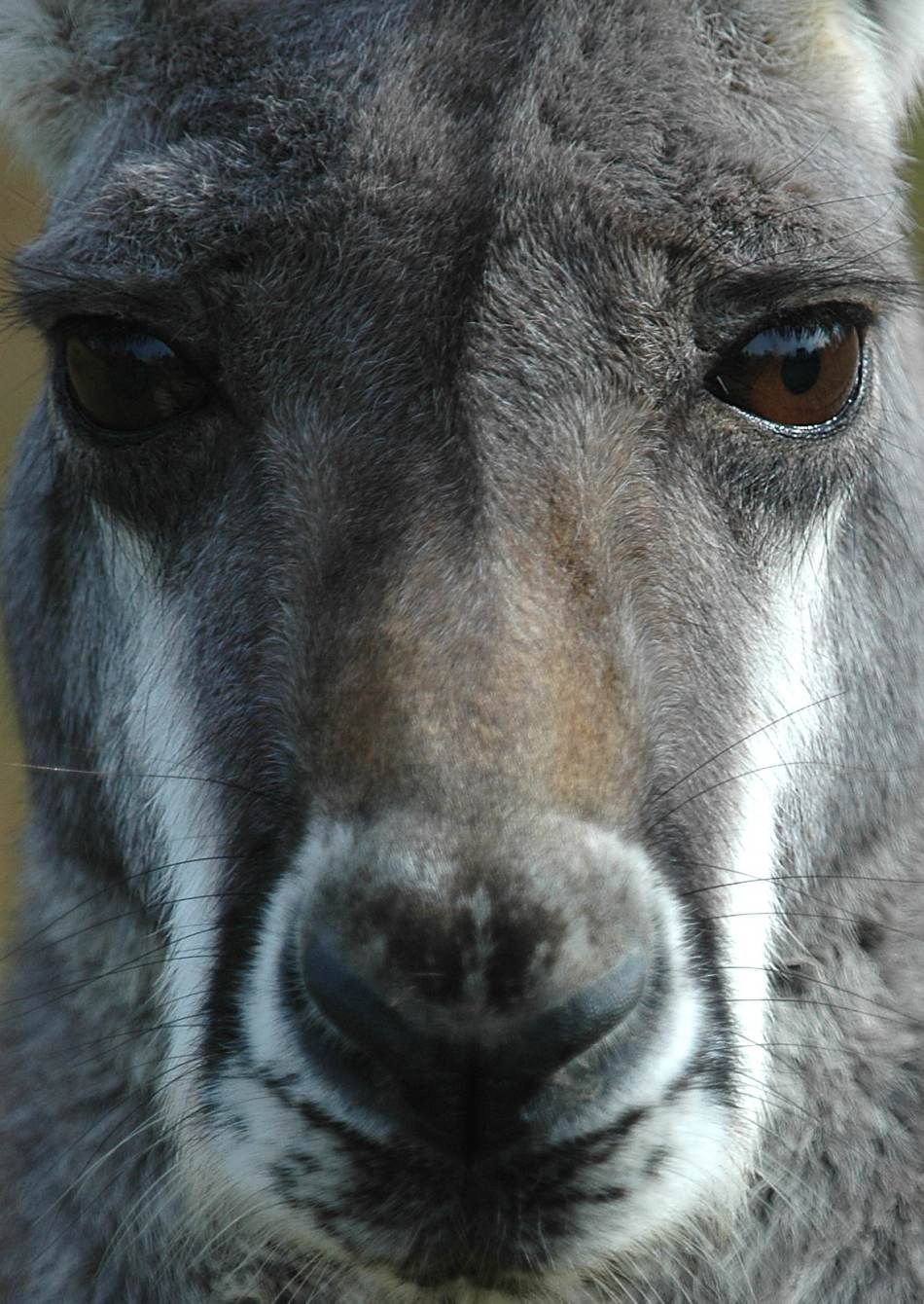 kangaroo extreme close-up