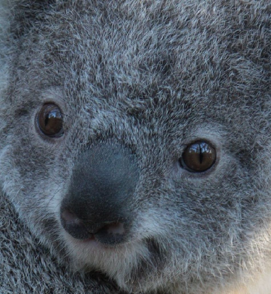 AnimalExtremeCloseup - Koala Bear