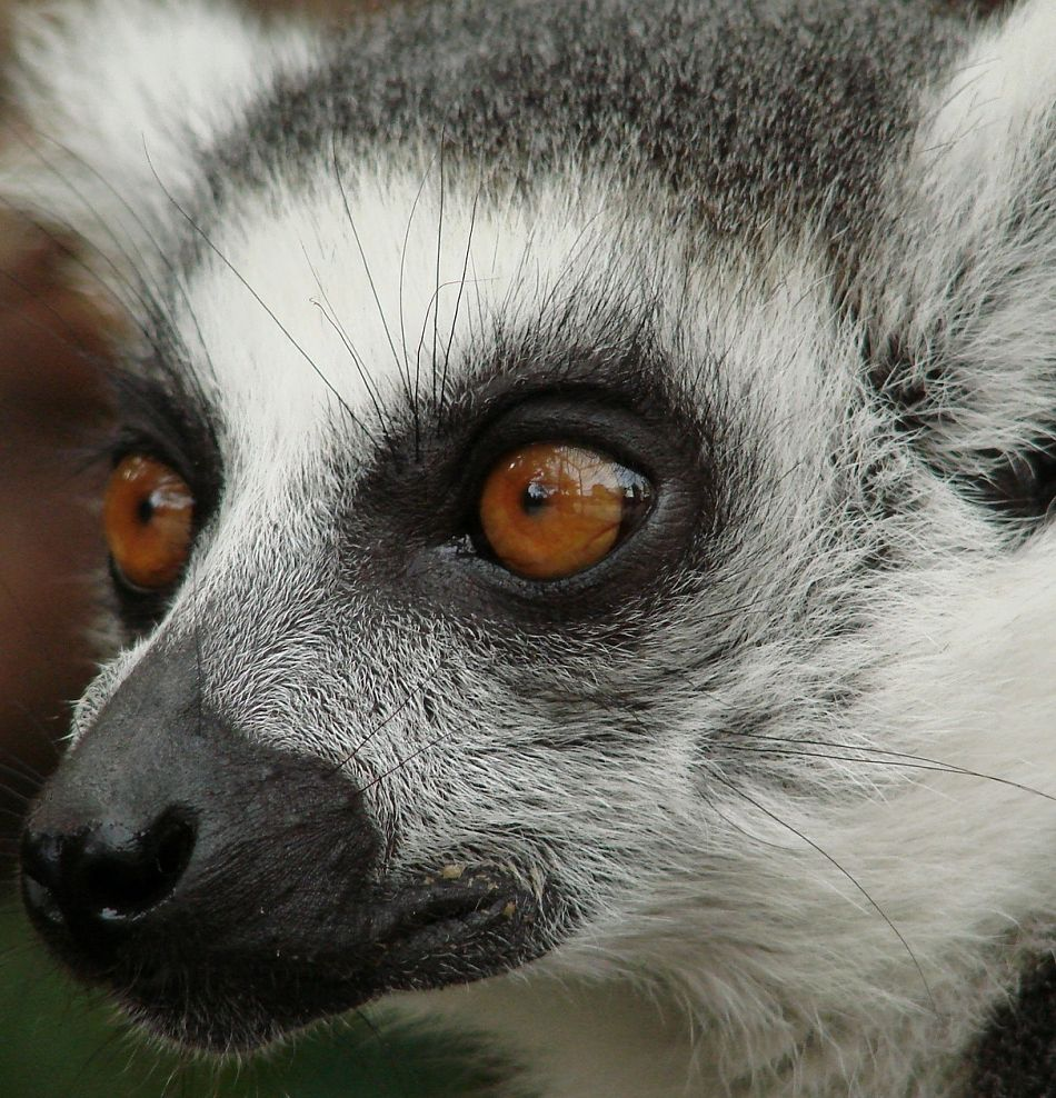 Animal Extreme Close-up - Lemur