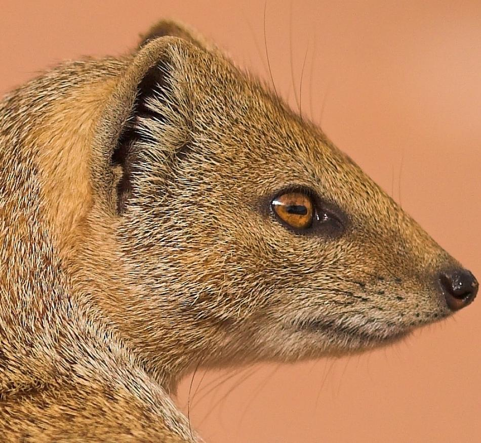 Animal Extreme Close-up - Mongoose
