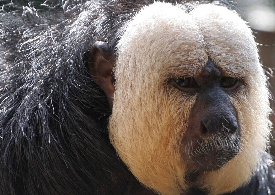 Animal Extreme Close-up - White face Saki Monkey