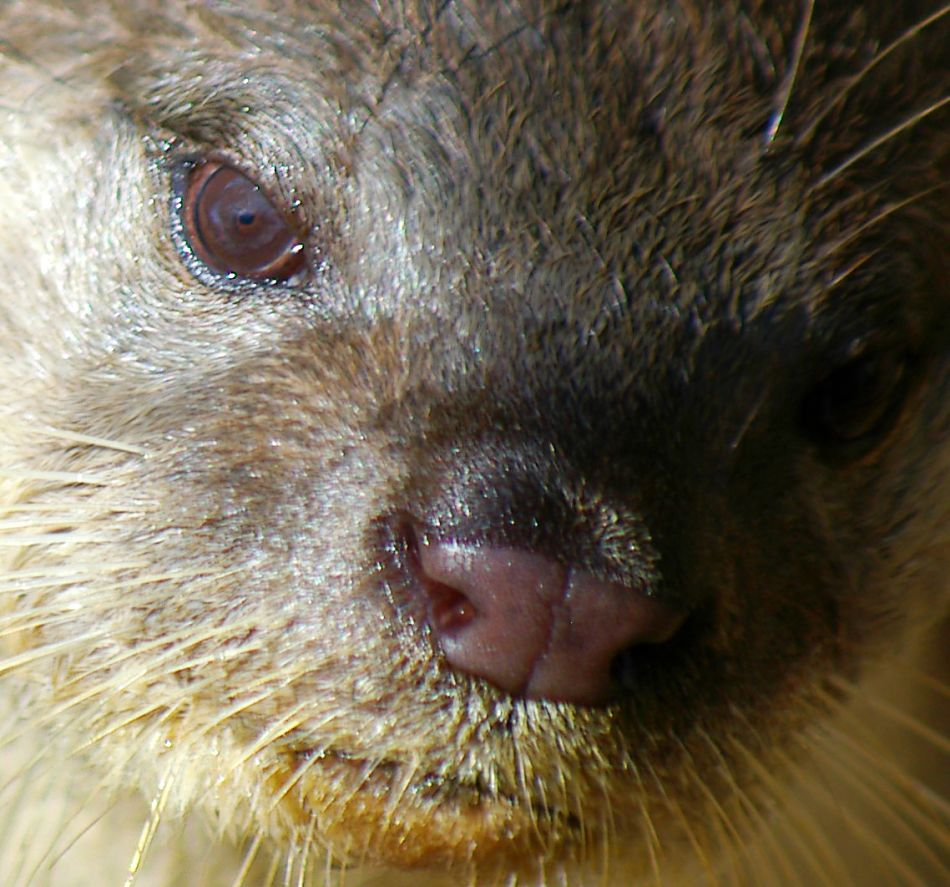 Animal Extreme Closeup - Otter