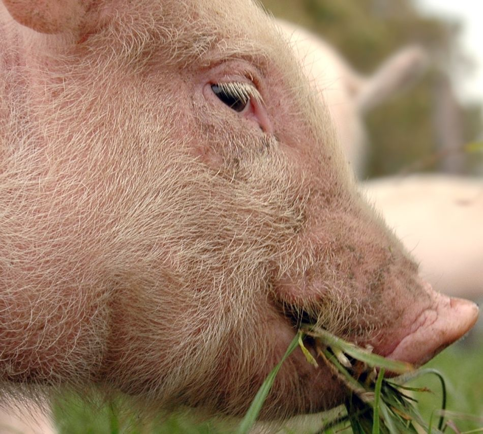 animal-extreme-closeup-pig
