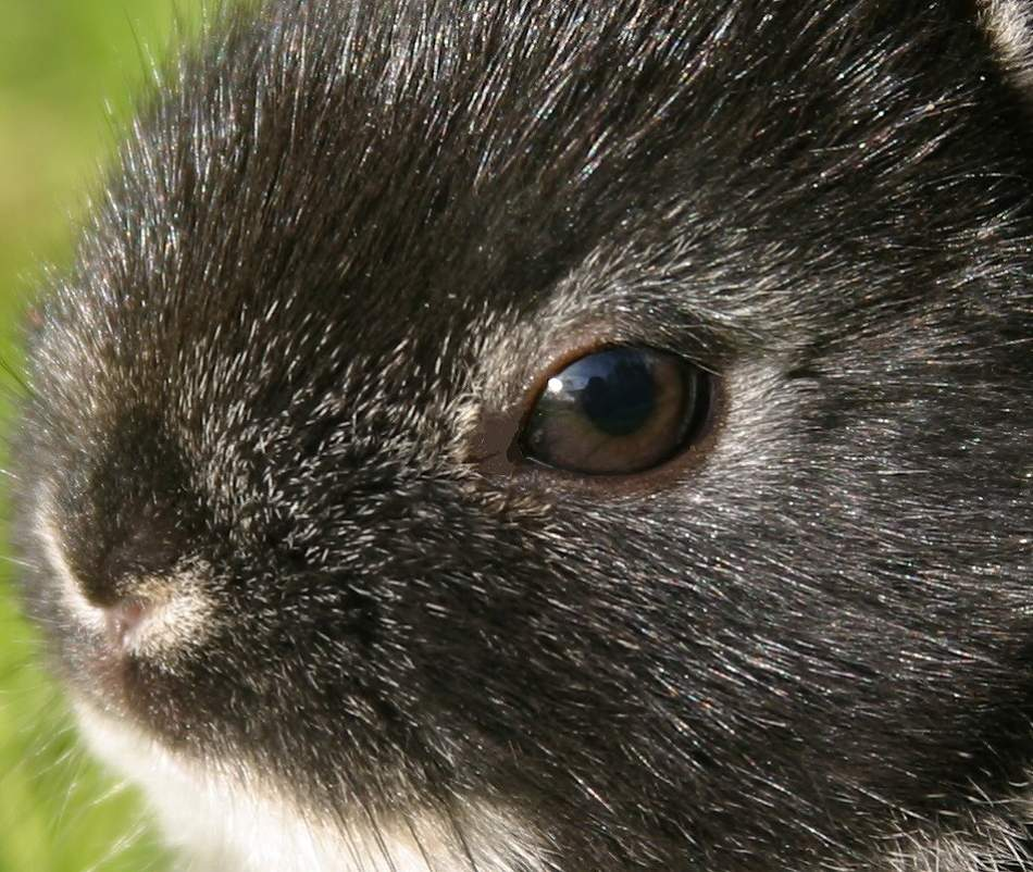 Animal Extreme Close-up - Netherland Dwarf Rabbit