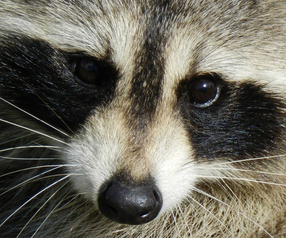 raccoon extreme close-up