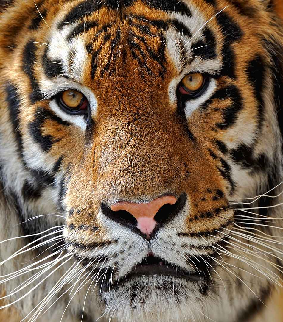 Animal Extreme Close-up Siberian Tiger