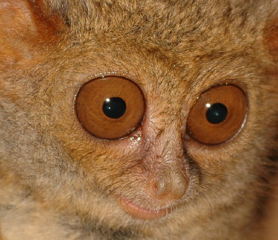 animal extreme closeup - Tarsier