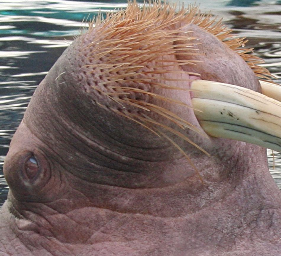 animal extreme closeup - Walrus