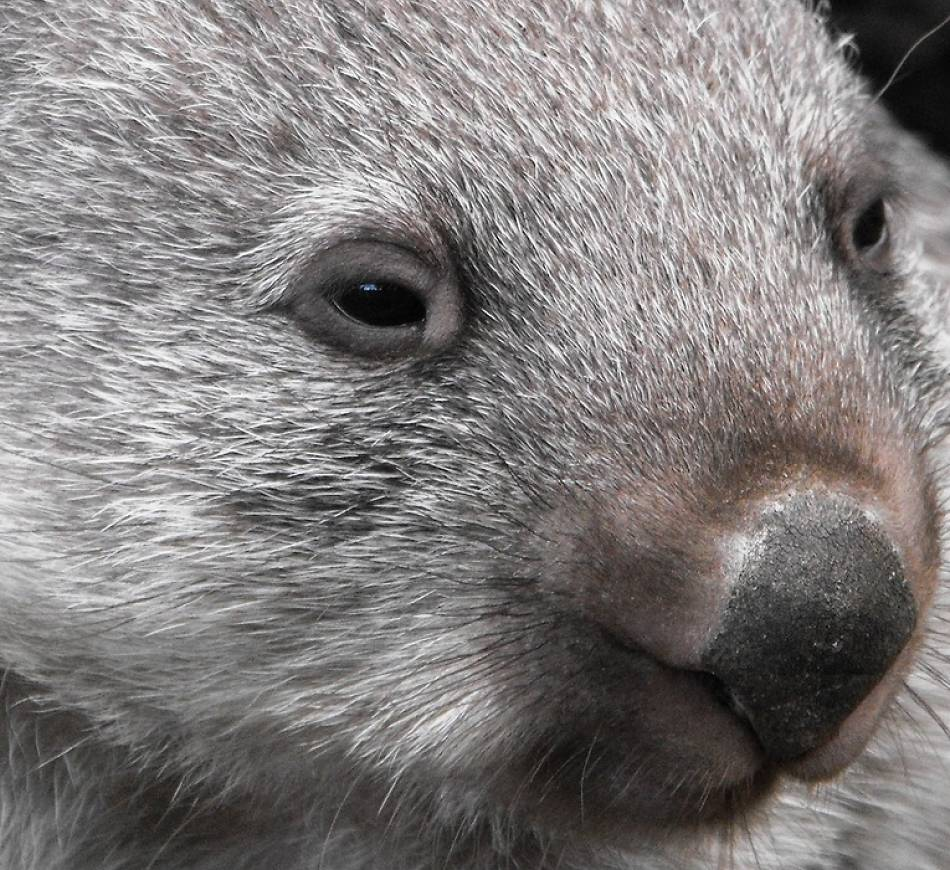 wombat extreme close-up
