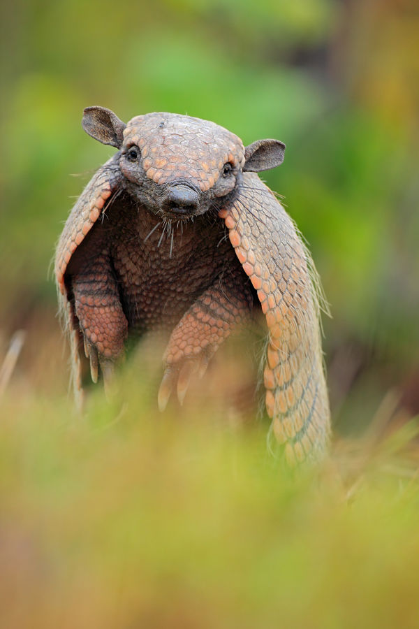 Giant Chinchilla Rabbit Armadillo Facts - Anim...